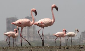 FLAMINGOS IN SEWRI-BHANDUP SUBURBS
