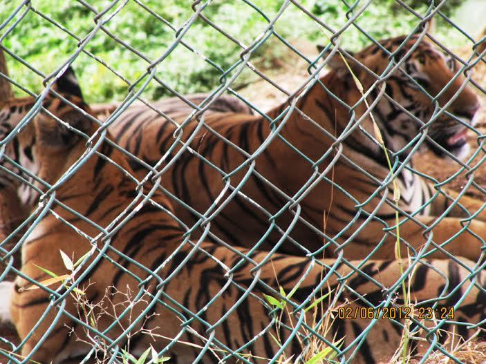 Mumbai-Mornings-Borivali-National-Park-tigers