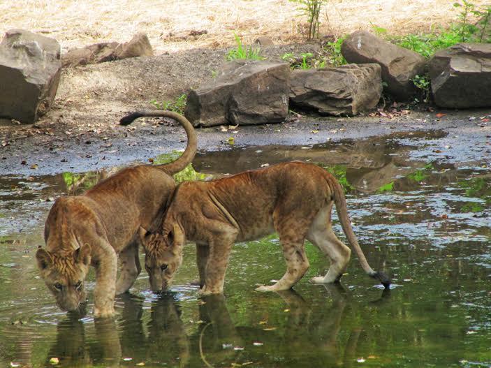 Mumbai-Mornings-Lion-Borivali National Park